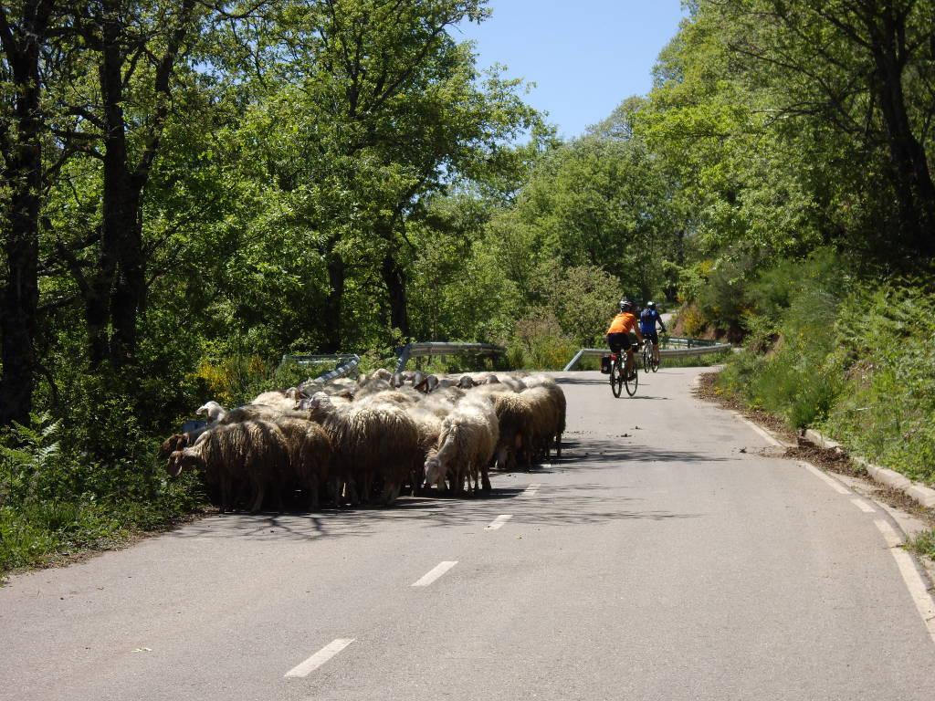 ovejas subiendo a villar del puerto